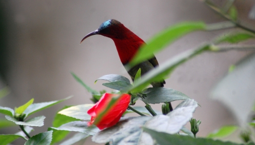himalaya bird 1