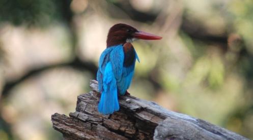 himalaya bird 2